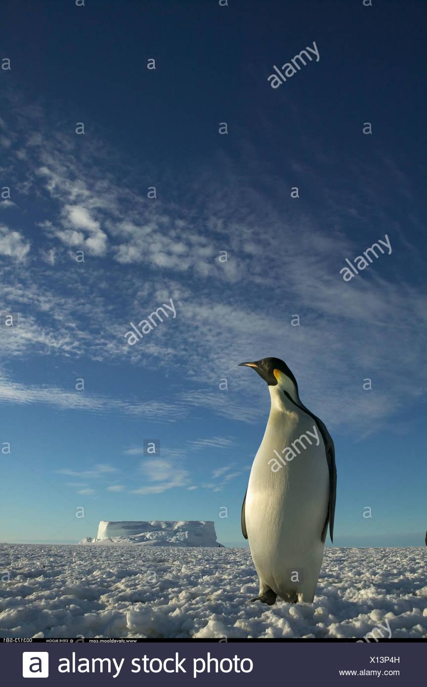 Pinguino imperatore Cape Washington Antartide Immagini Stock