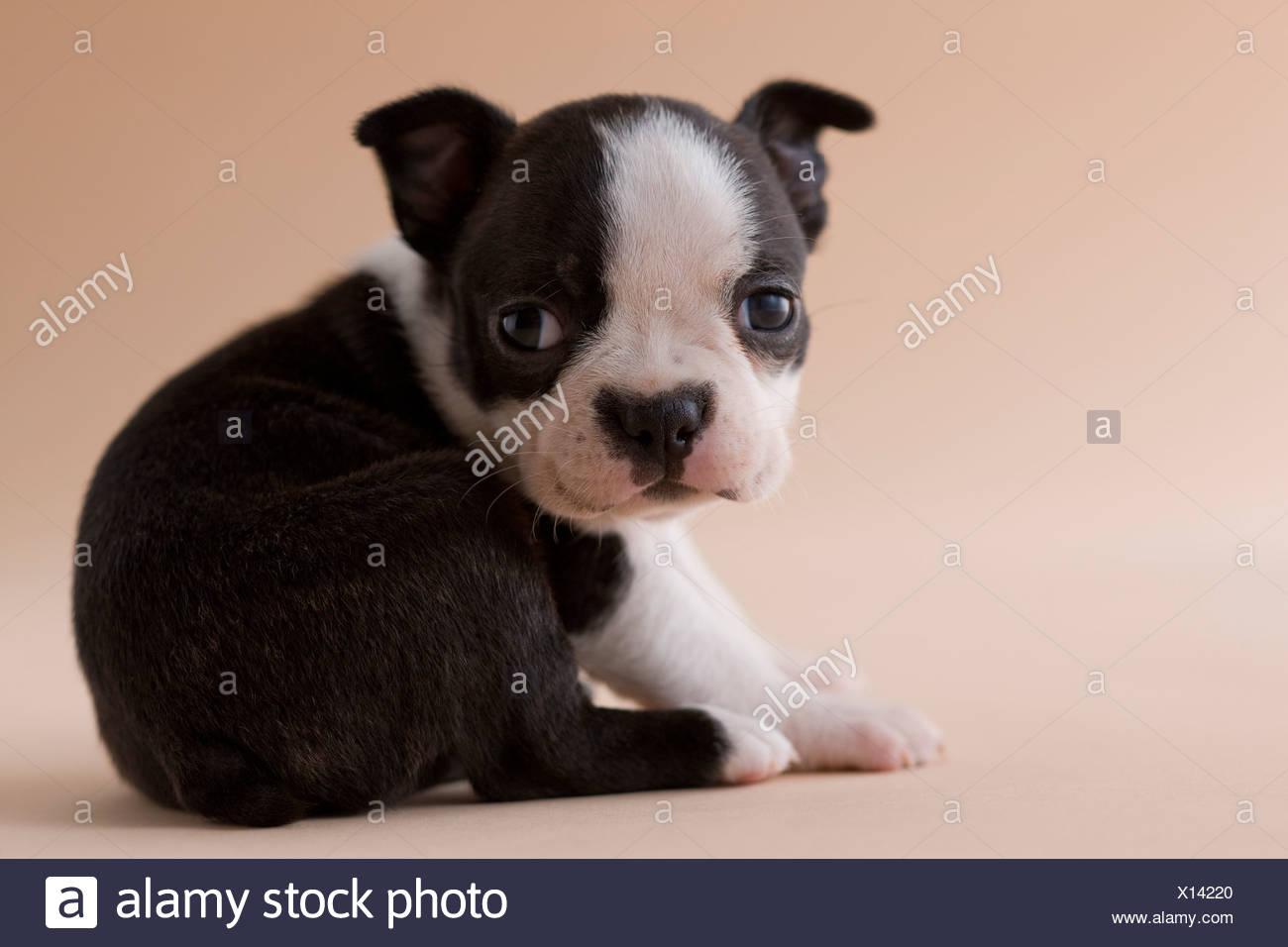 Boston Terrier cucciolo Immagini Stock