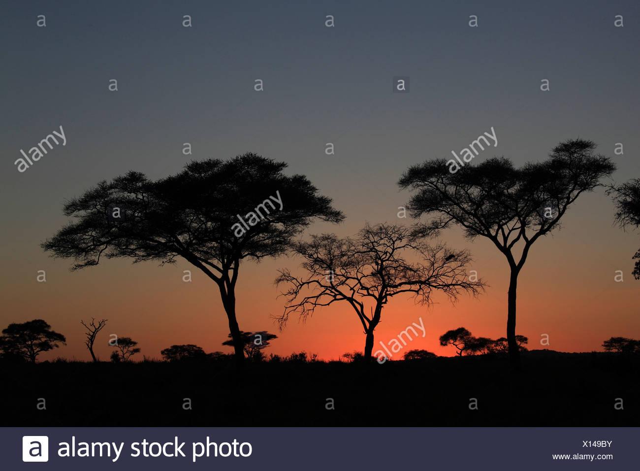 Alberi al tramonto, la Tanzania, il Parco Nazionale di Tarangire e, Serengeti Immagini Stock