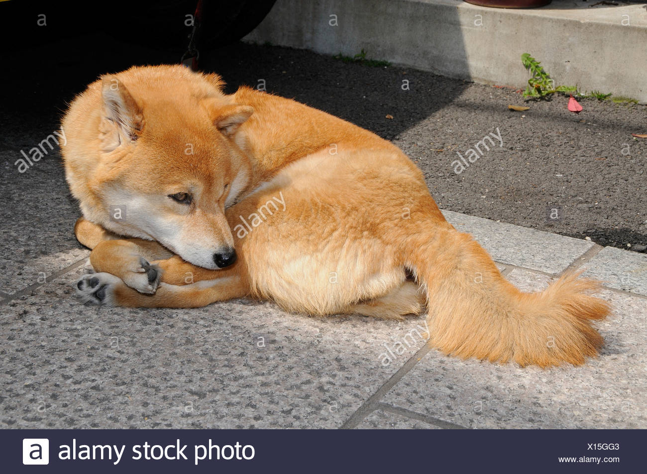 Hokkaido cane, Ainu cane, Ainu Inu, Hokkaido-Ken, Giapponese cane di razza, comune cane, Kyoto, Giappone, Asia Immagini Stock