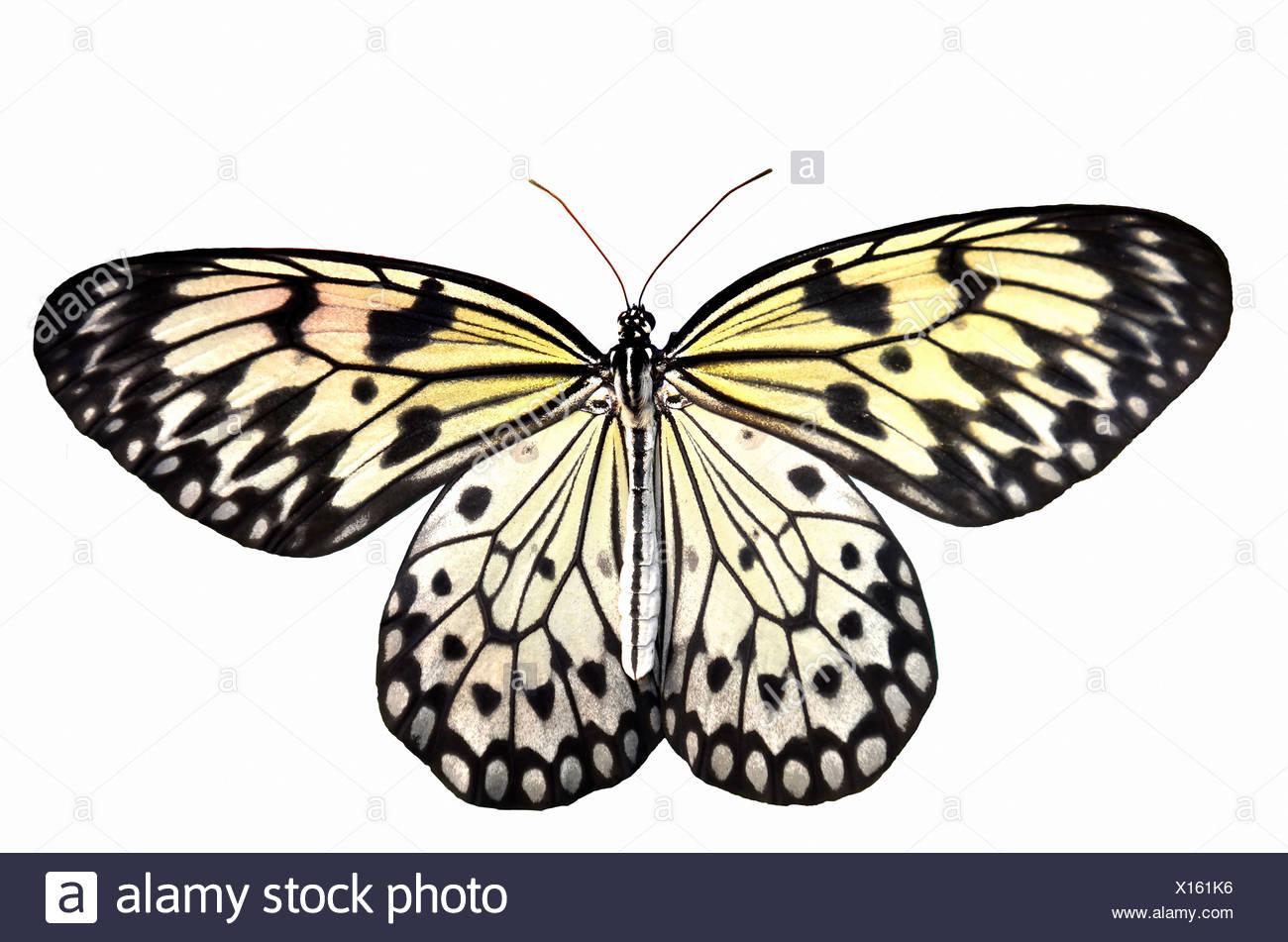 Un grande albero bianco ninfa, una farfalla tropicale con un tocco di giallo per le ali. Isolato su uno sfondo bianco Immagini Stock