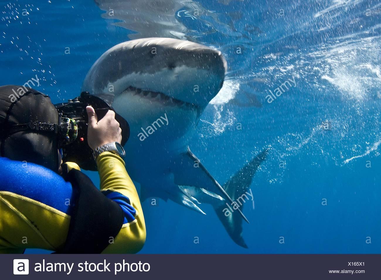 Il grande squalo bianco (Carcharodon carcharias) rendendo uno stretto passaggio mentre il fotografo si appoggia a prendere una foto isola di Guadalupe Immagini Stock