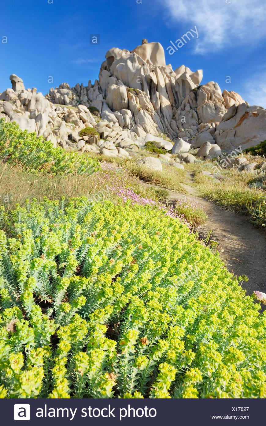 Fiori Gialli In Sardegna.Fiori Gialli Di Mare Euforbia Euphorbia Paralias L Linea