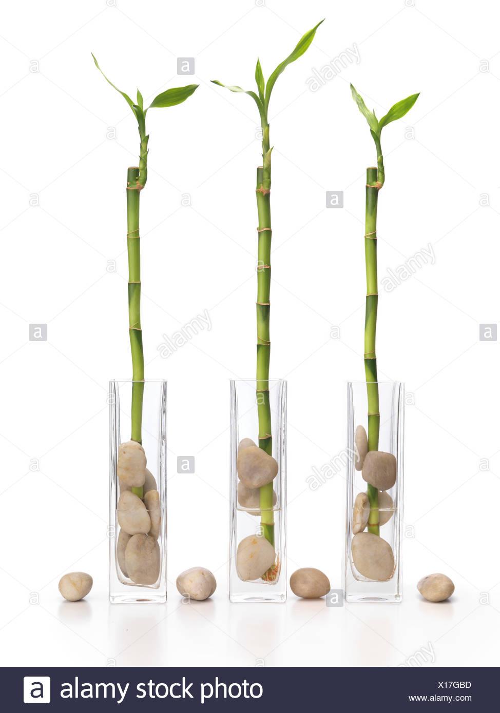 Tre fortunati bamboo Feng Shui piante in vasi Immagini Stock