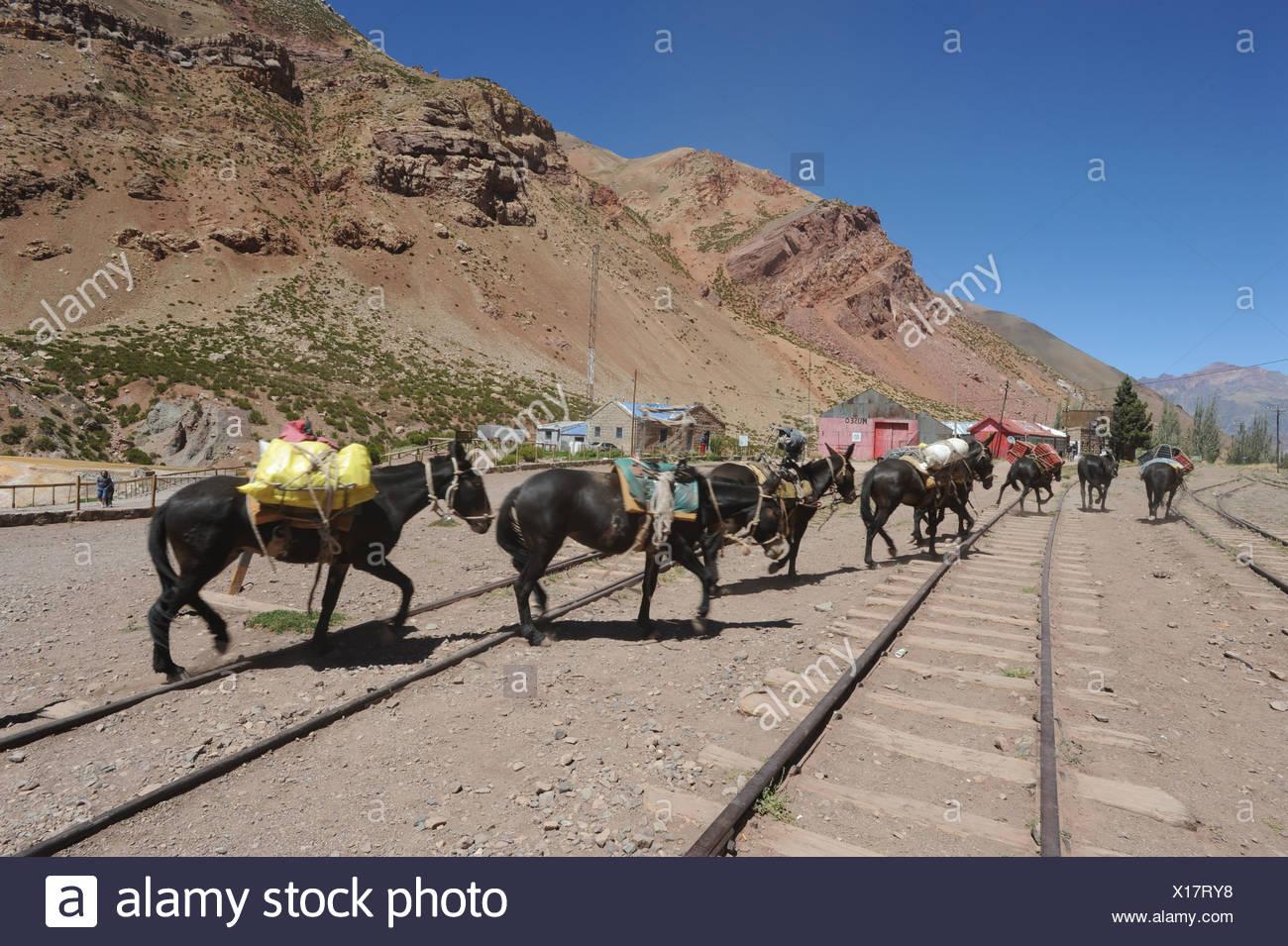 Argentina, Sud America, Ande, rotaie, cavalli, carichi, trasporti, Ponte del Inca, Mendoza Immagini Stock