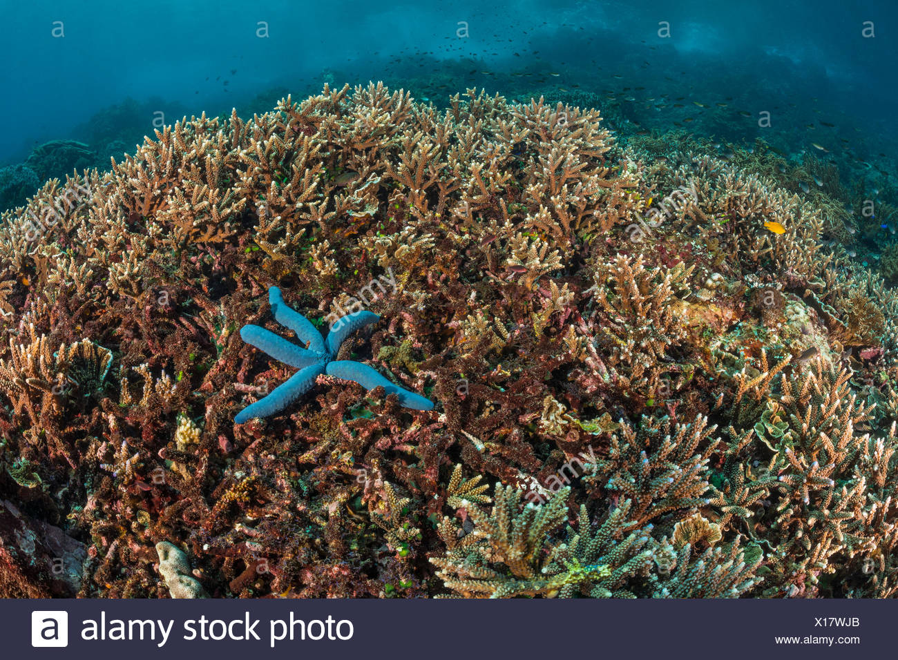 Corallo duro sulla cima della scogliera, Acropora sp., Alor, Indonesia Immagini Stock