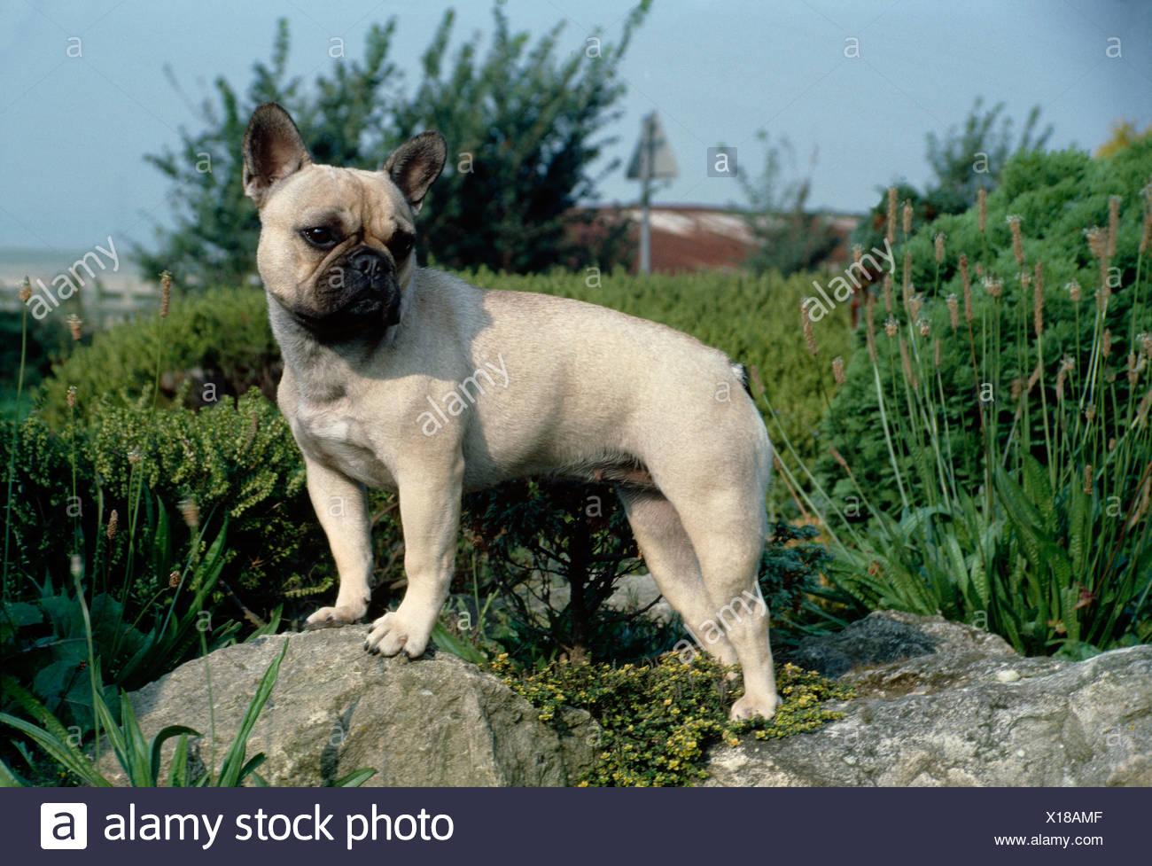 Vista Laterale Di Adulto Fawn Bulldog Francese In Piedi In Giardino