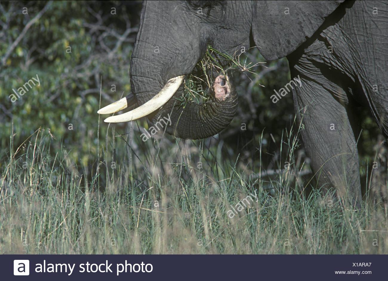 Con elefante ferito tronco tagliato danneggiato da parte dei bracconieri filo laccio Masai Mara riserva nazionale del Kenya Africa orientale Immagini Stock