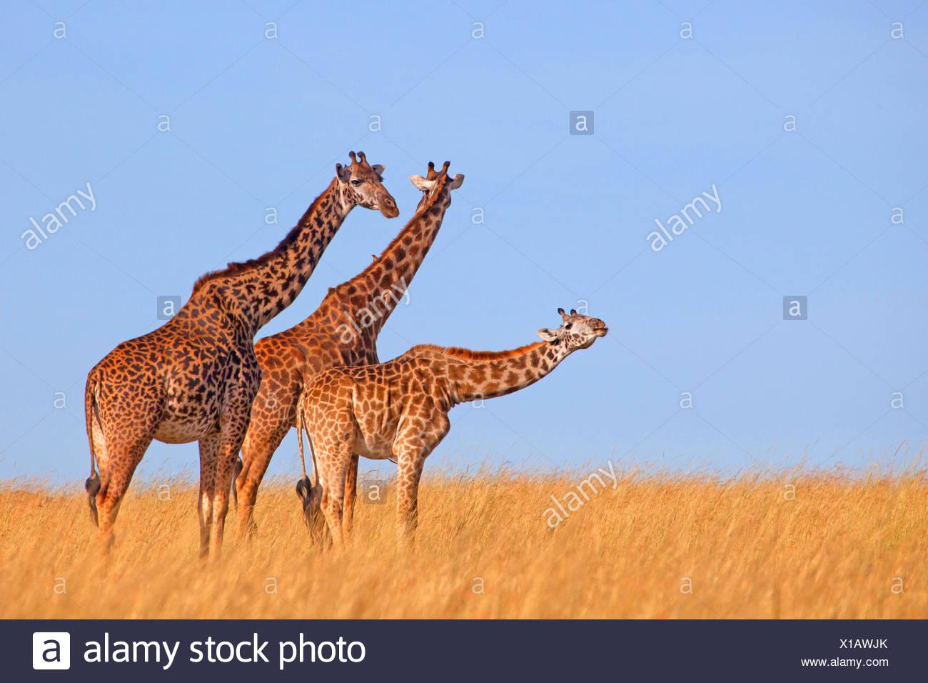 Masai giraffe (Giraffa camelopardalis tippelskirchi), tre giraffe a Savannah, Kenia Masai Mara National Park Immagini Stock