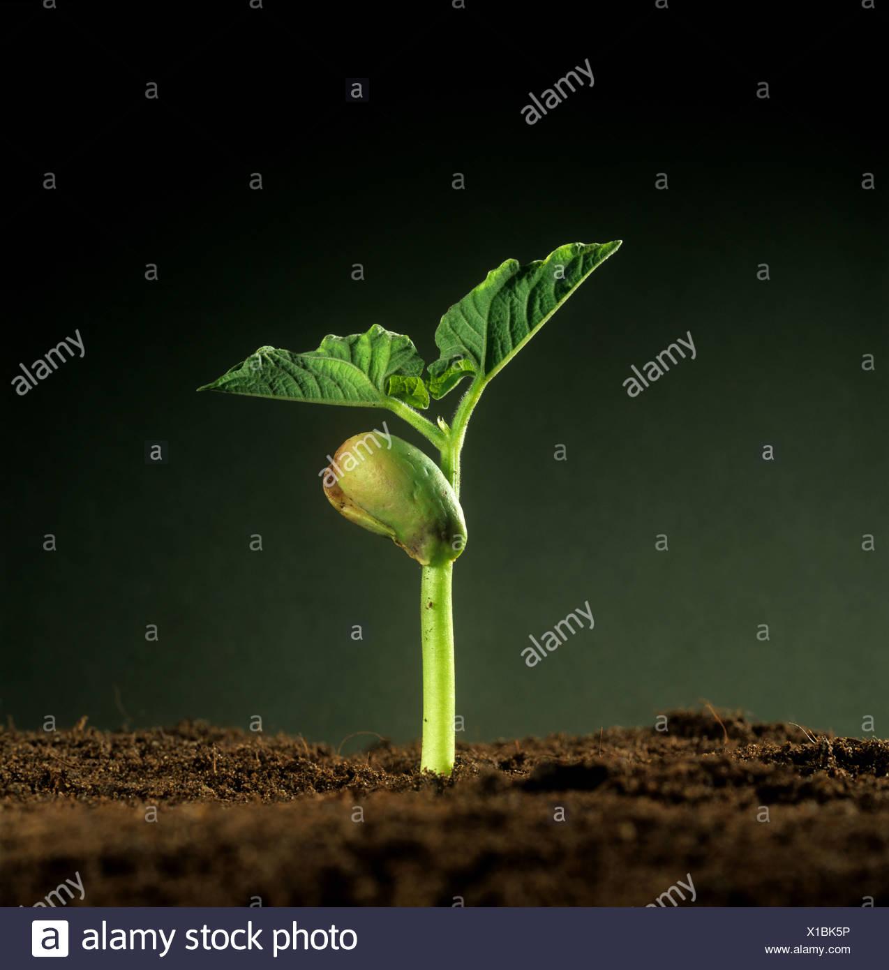 Verde fagiolo (Phaseolus vulgaris) piantina con cotiledone riserva alimentare e prime foglie vere Immagini Stock