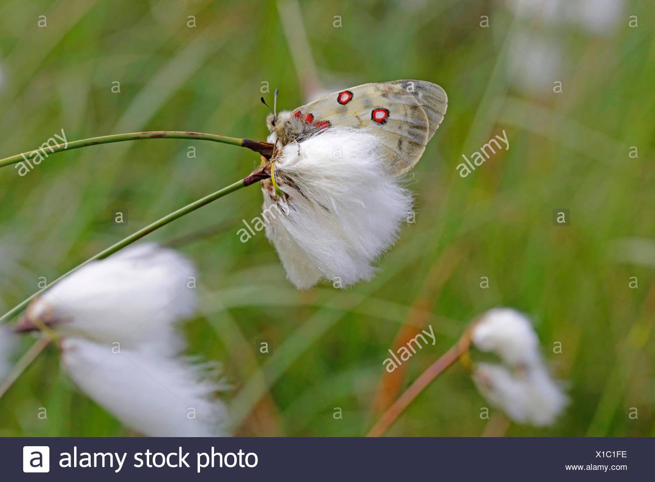 Phoebus Apollo, piccolo Apollo (Parnassius phoebus), sittin su cotone-erba, Austria, Tirolo Immagini Stock