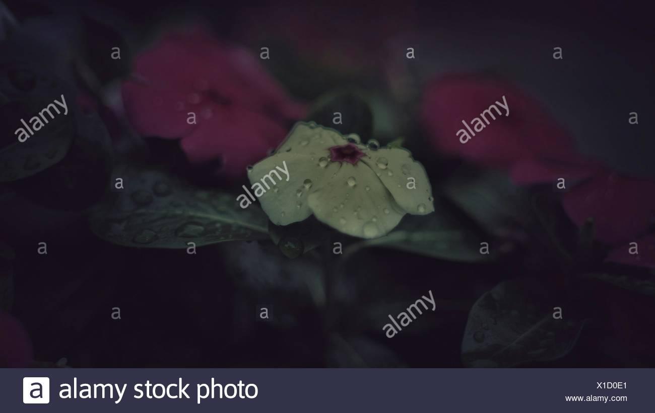 In primo piano del fiore nella stagione delle piogge Immagini Stock