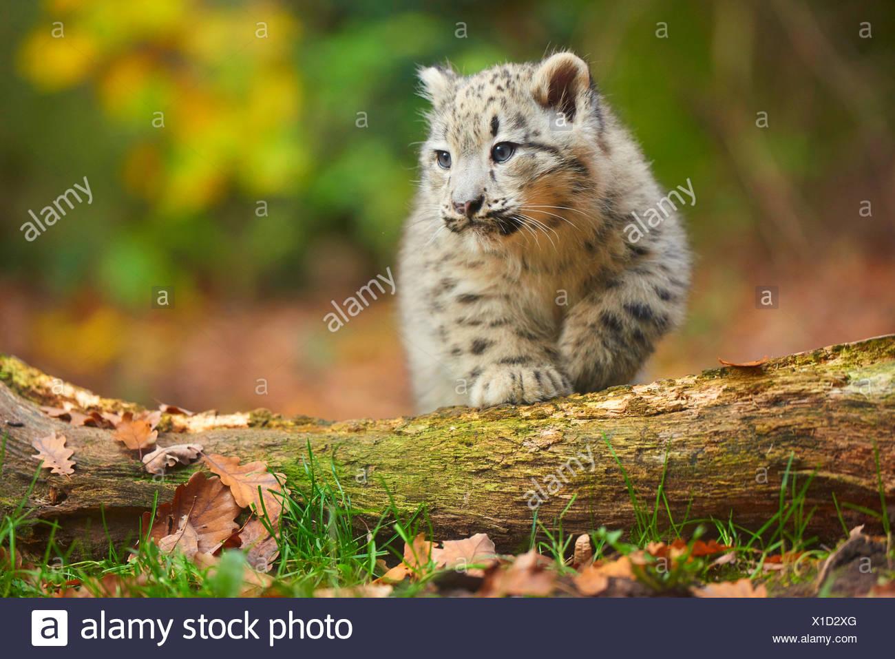 Snow Leopard (Uncia uncia, Panthera uncia), youngster arrampicarsi su un tronco di albero Immagini Stock