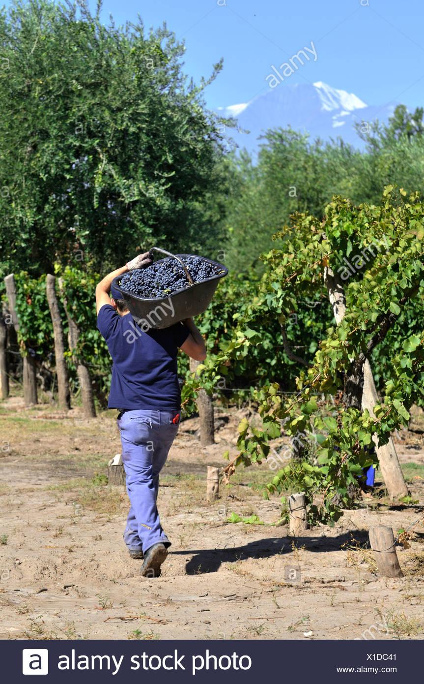 Picker durante la vendemmia delle uve Syrah sul Carinae vigneto di Maipú, provincia di Mendoza, Argentina, Sud America Immagini Stock