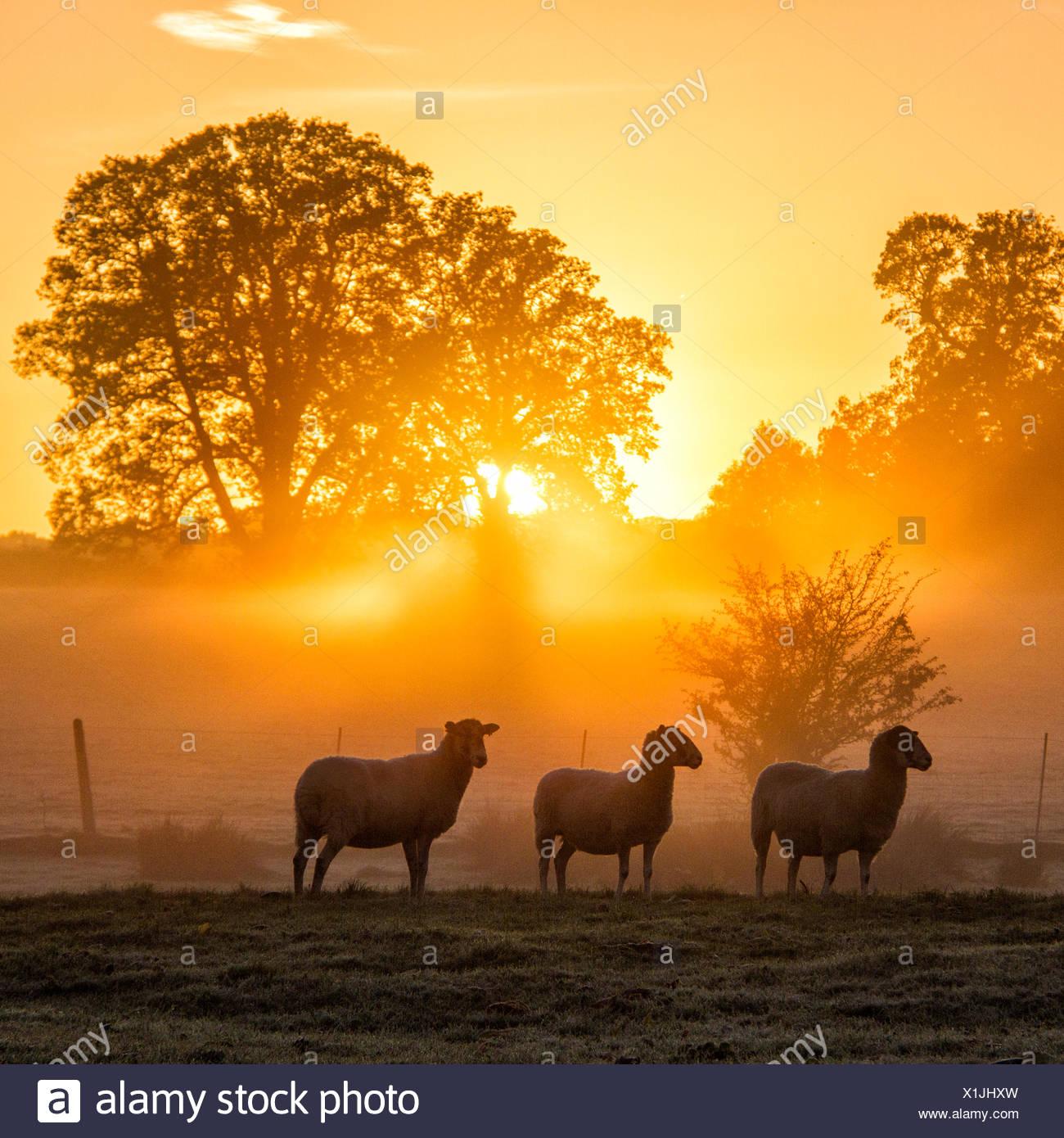Pecora in piedi nel campo al tramonto, Berkshire, Inghilterra, Regno Unito Immagini Stock
