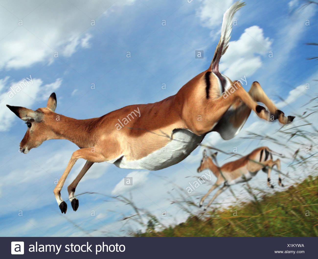 Impala (Aepyceros melampus), saltando in volo, Kenia Masai Mara National Park Immagini Stock