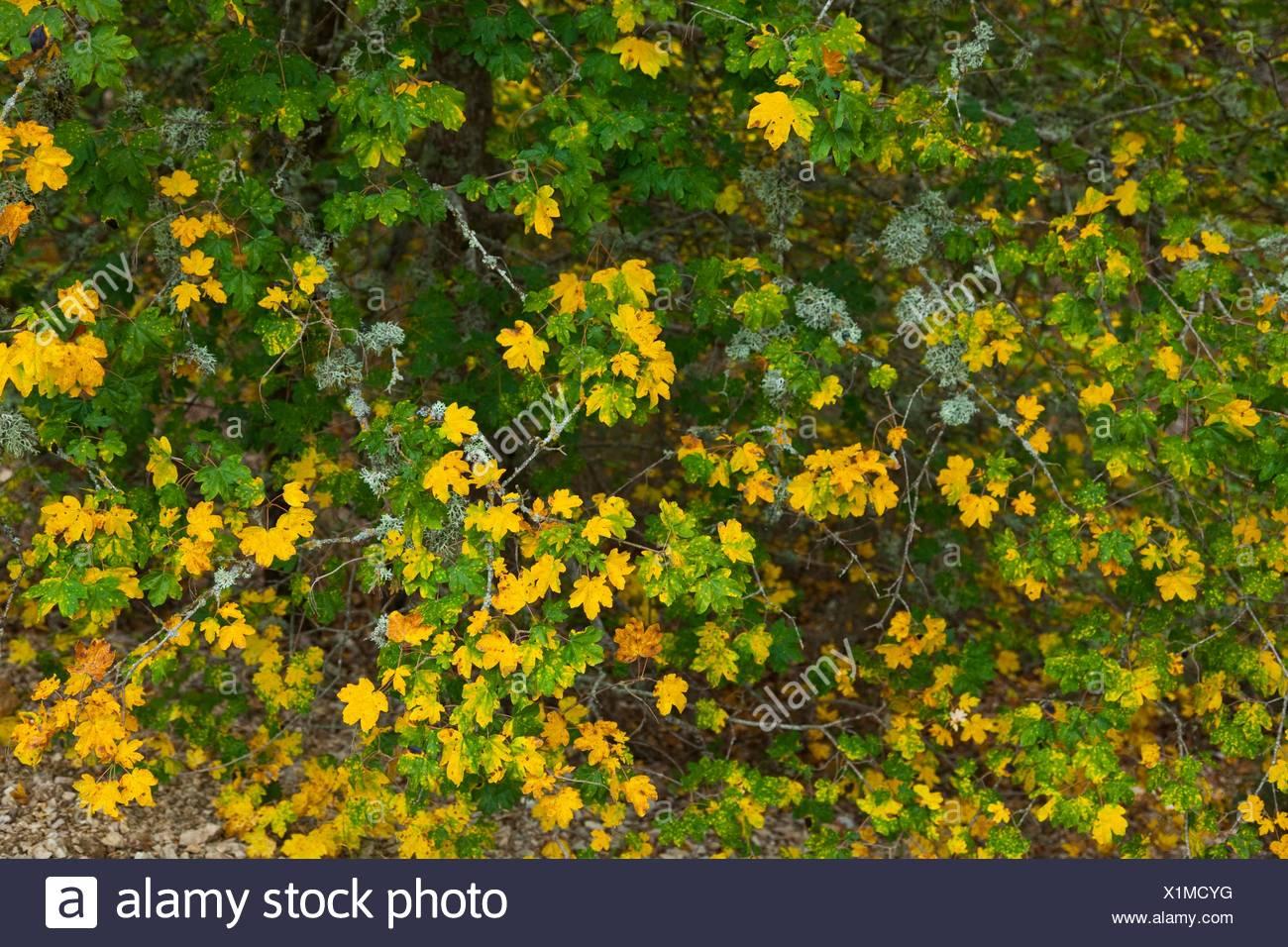 Acero Campestre Acer Campestre In Autunno Superiore Rudron River