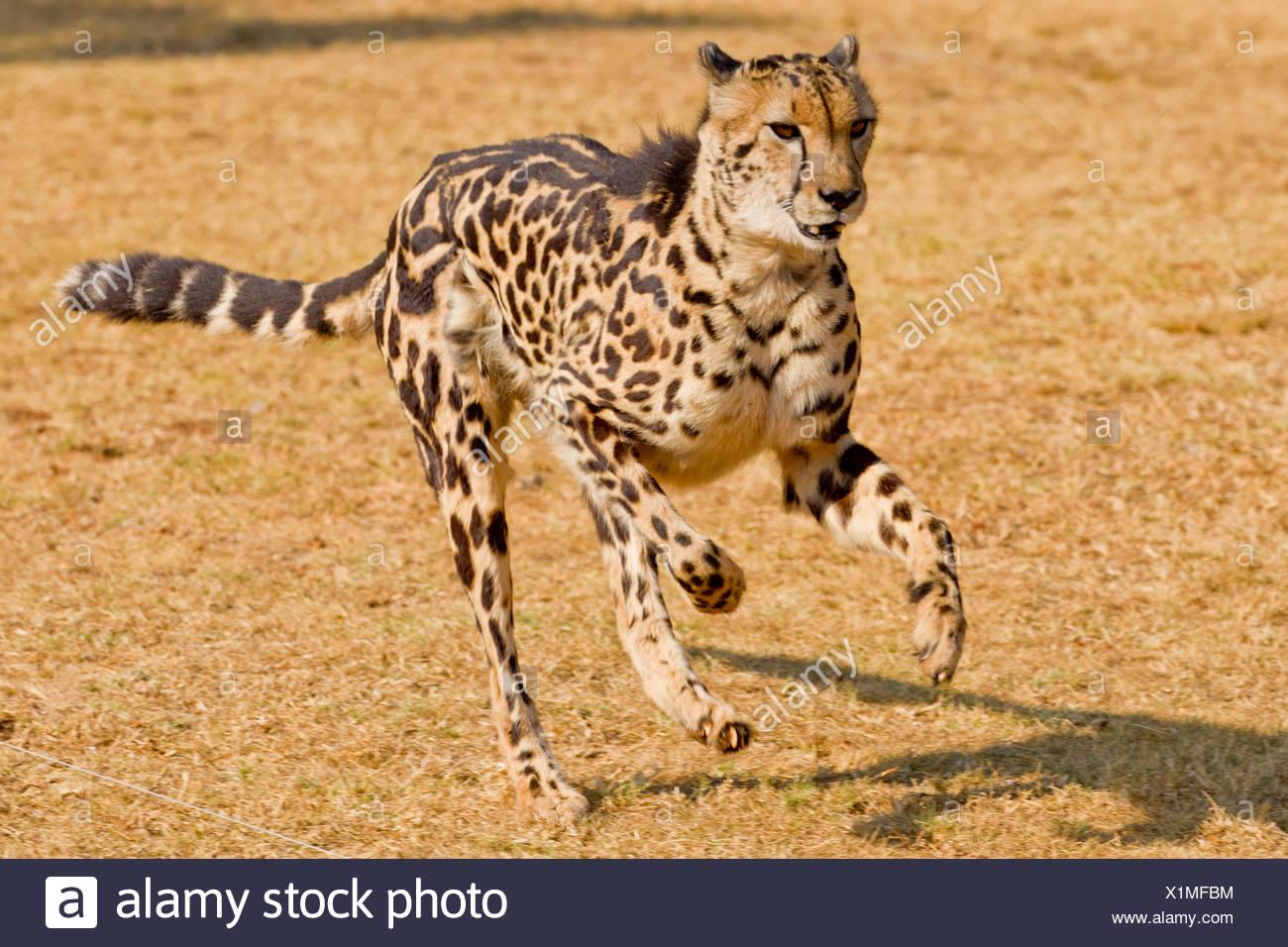Esecuzione di ghepardo (Acinonyx jubatus), un raro re ghepardo con la sua pelliccia distinti pattern a causa della mutazione Immagini Stock