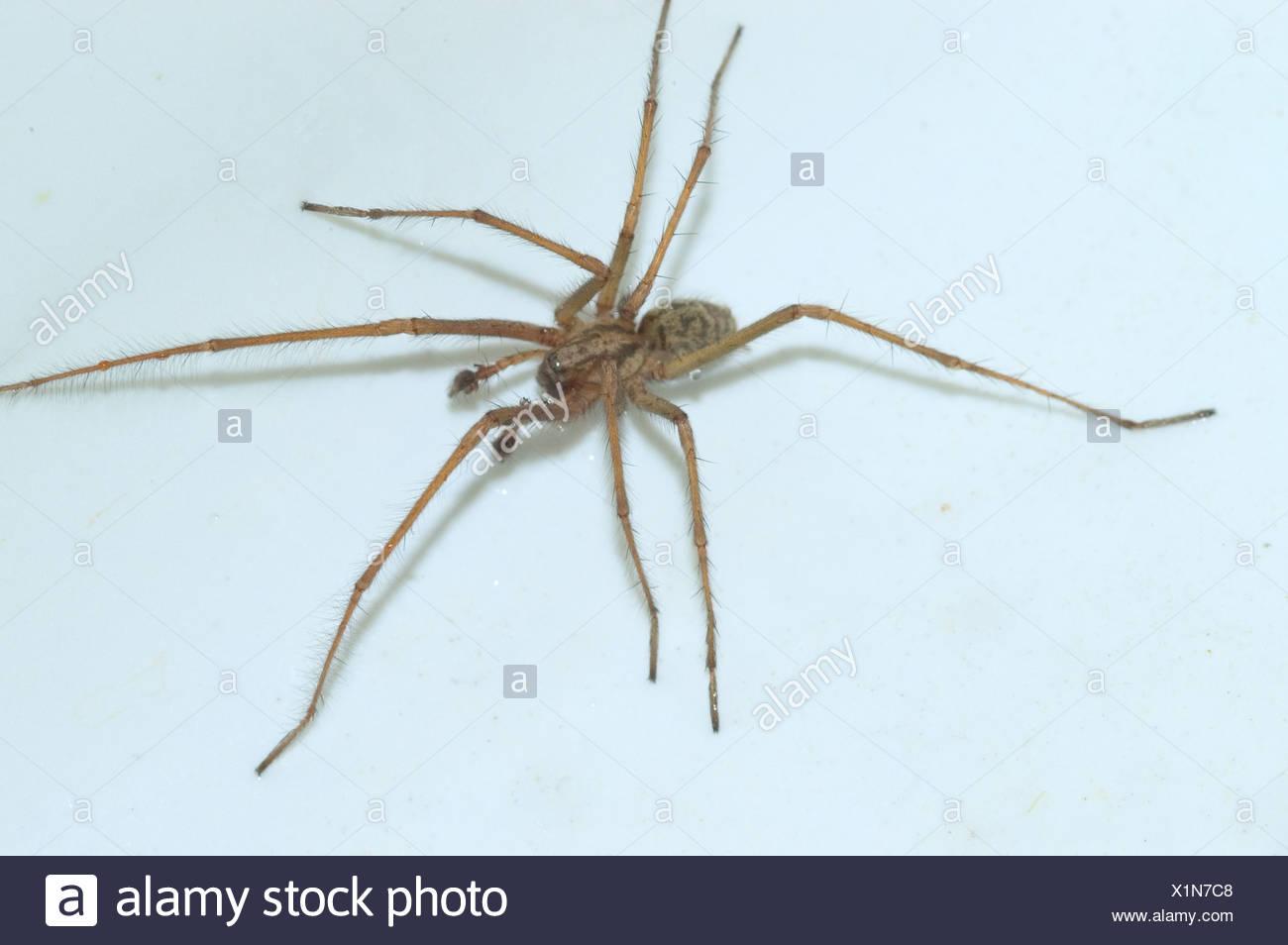 House Spider Tegenaria Domestica Immagini & House Spider Tegenaria ...