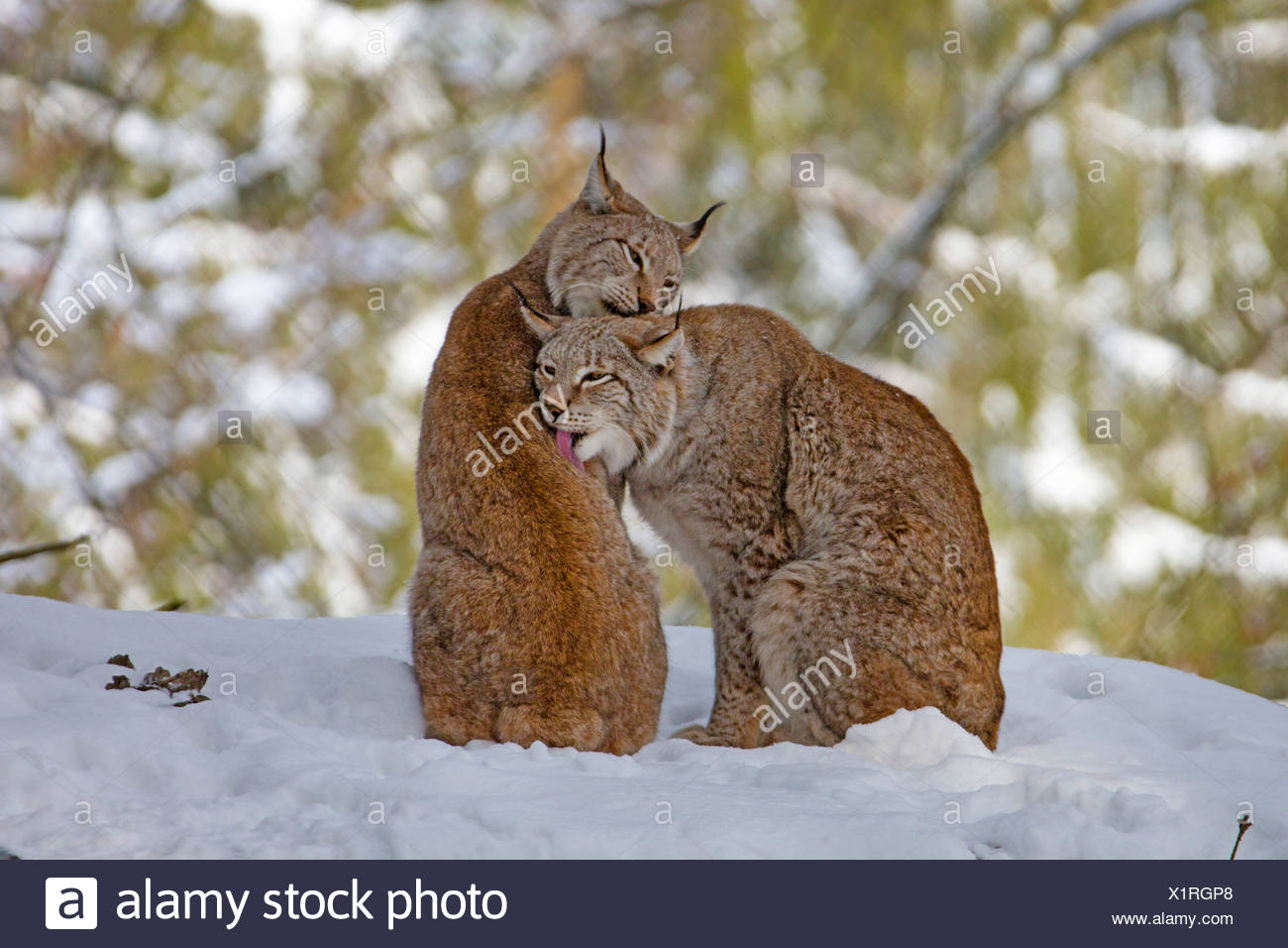 Bobcat (Lynx rufus), coppia toelettatura Immagini Stock