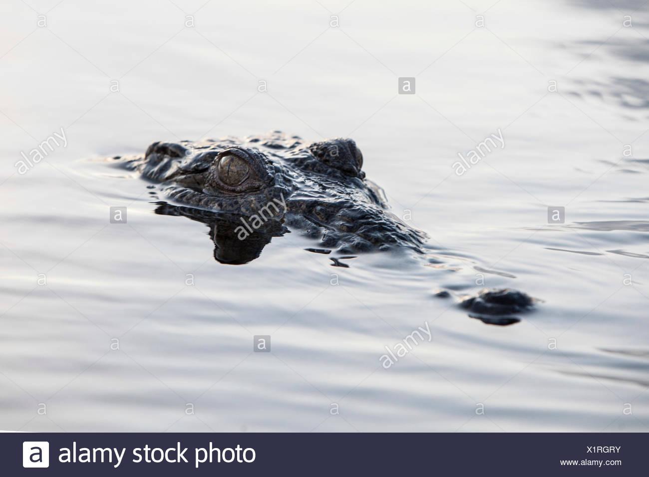 Testa del coccodrillo americano, Crocodylus acutus, Turneffe Atoll, dei Caraibi, del Belize Immagini Stock