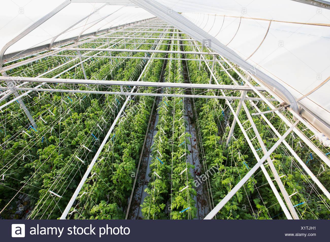 Piante che crescono in una fila in serra Immagini Stock