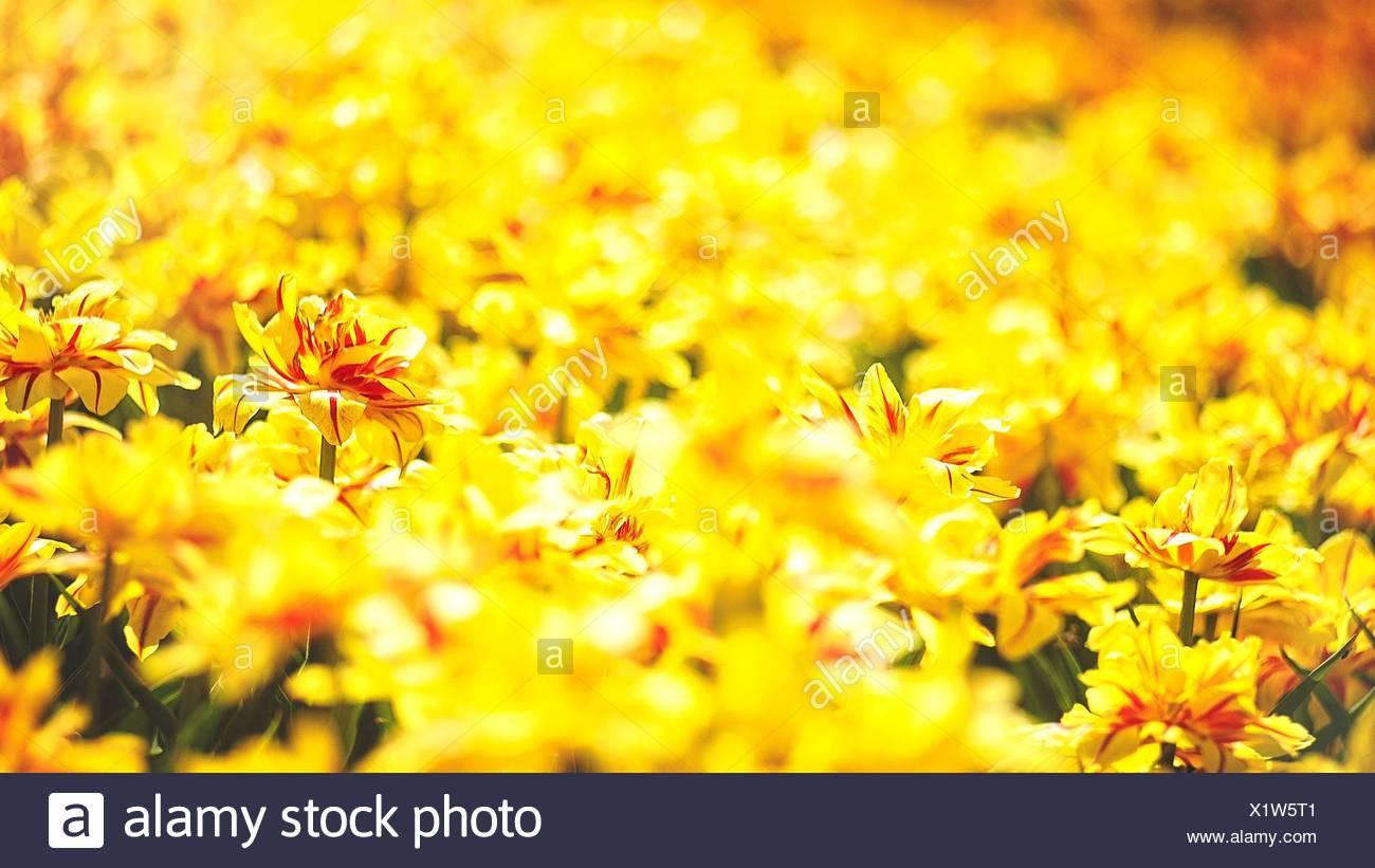 Tulipano giallo, astratti sfondi naturali. Immagini Stock
