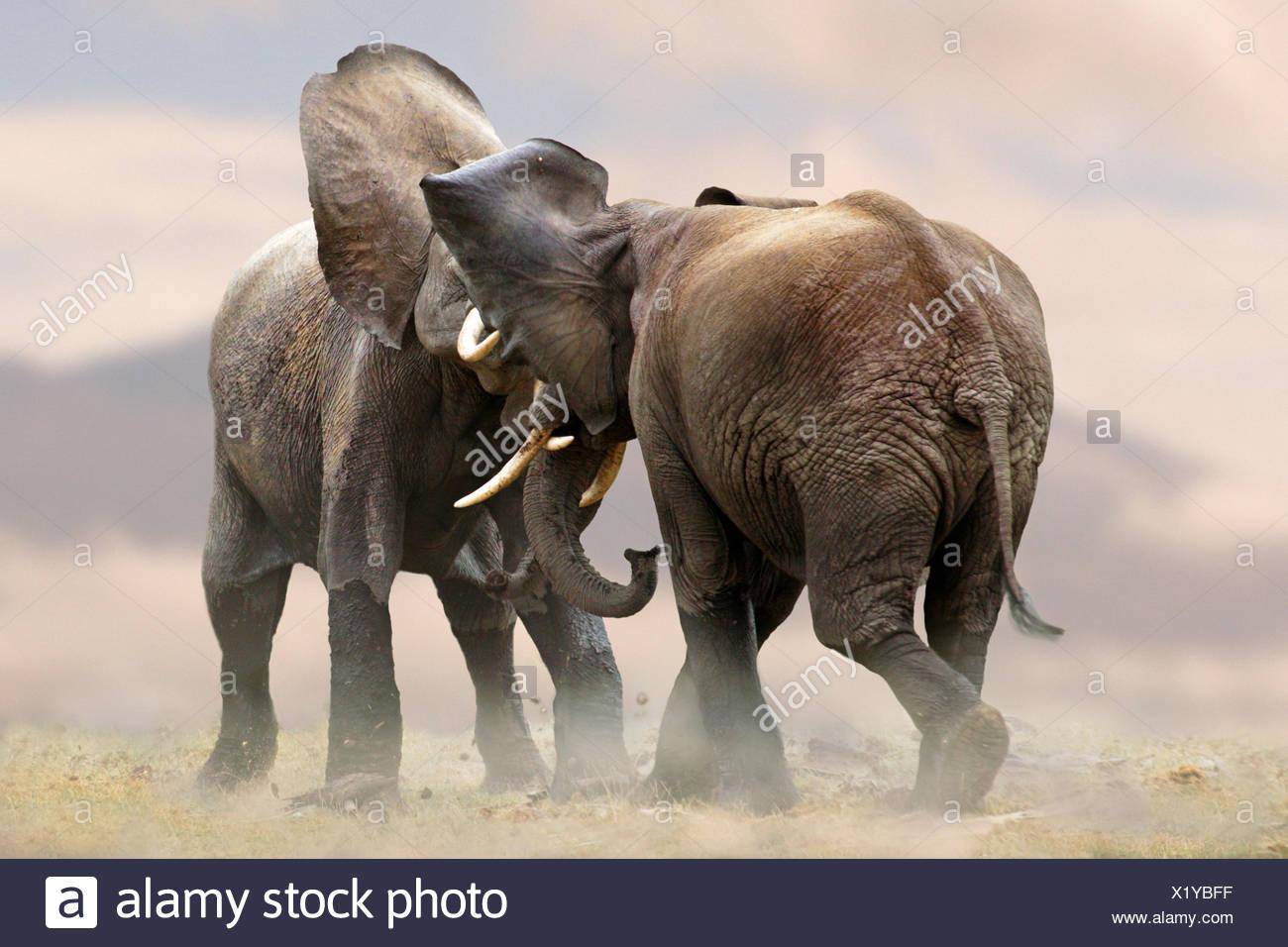 Elefante africano (Loxodonta africana), due elefanti scuffling insieme, Kenya, Amboseli National Park Immagini Stock