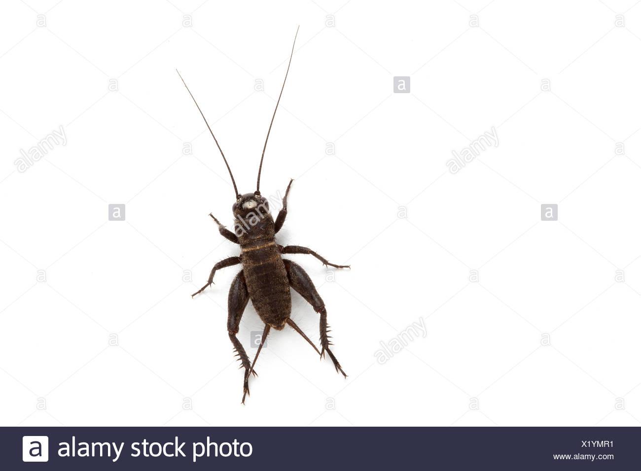 Cricket Immagini Stock