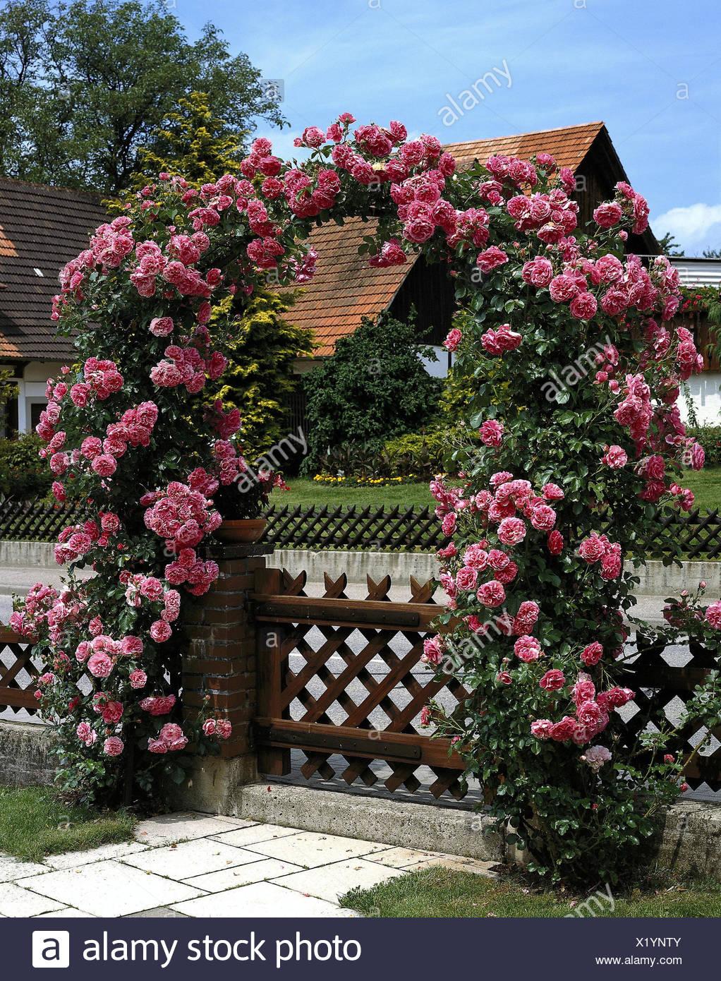 Piante Di Rose Rampicanti obiettivo del giardino, rose rampicanti, rose archi, arcate