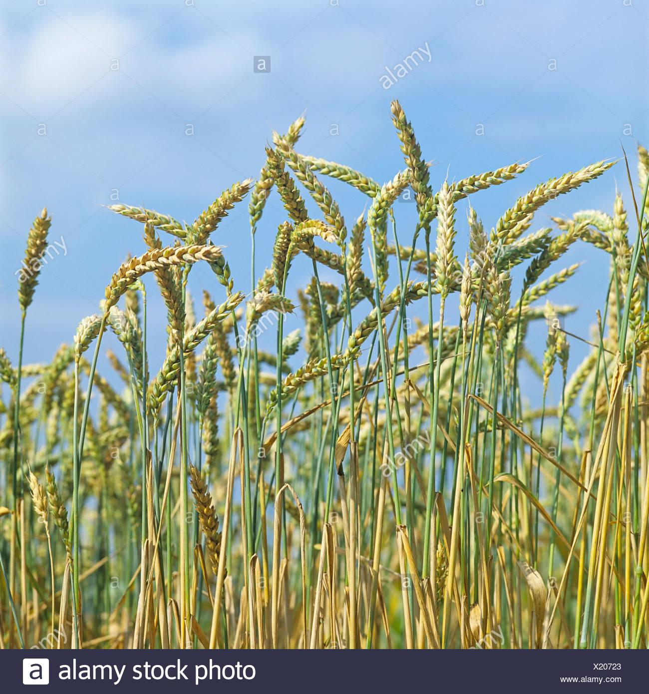 Frumento (Triticum), il campo di grano in Germania, Europa Immagini Stock