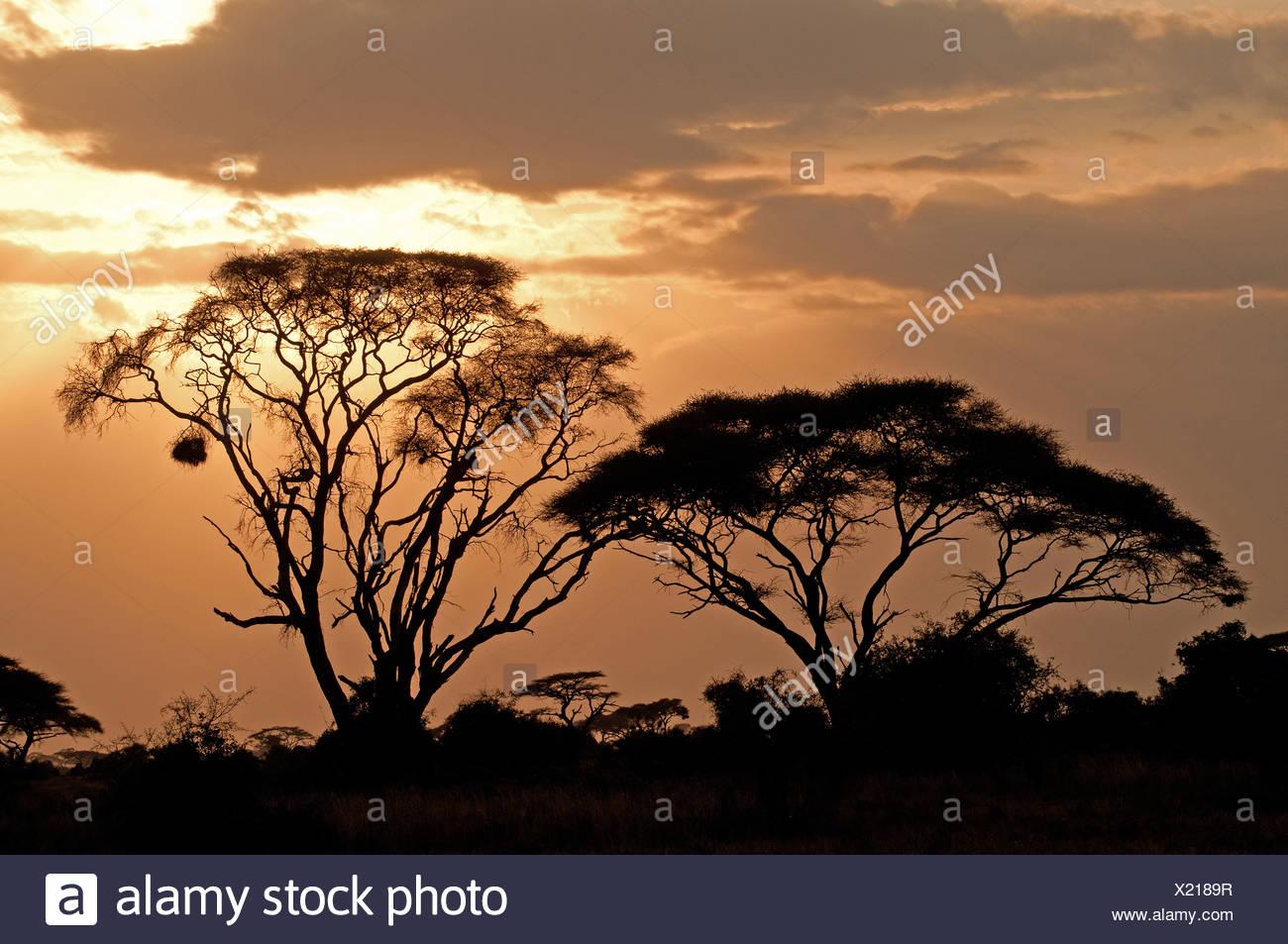 Gli alberi di acacia stagliano contro il cielo al tramonto in Amboseli Parco Nationa Kenya Africa ast Immagini Stock