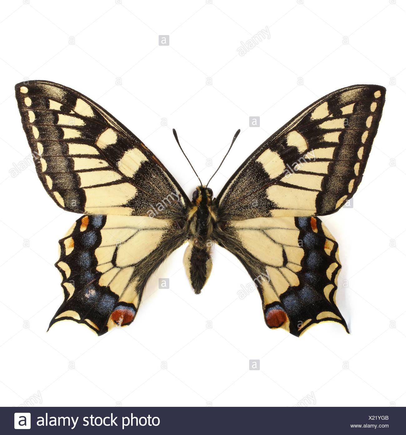 Farfalla a coda di rondine Immagini Stock
