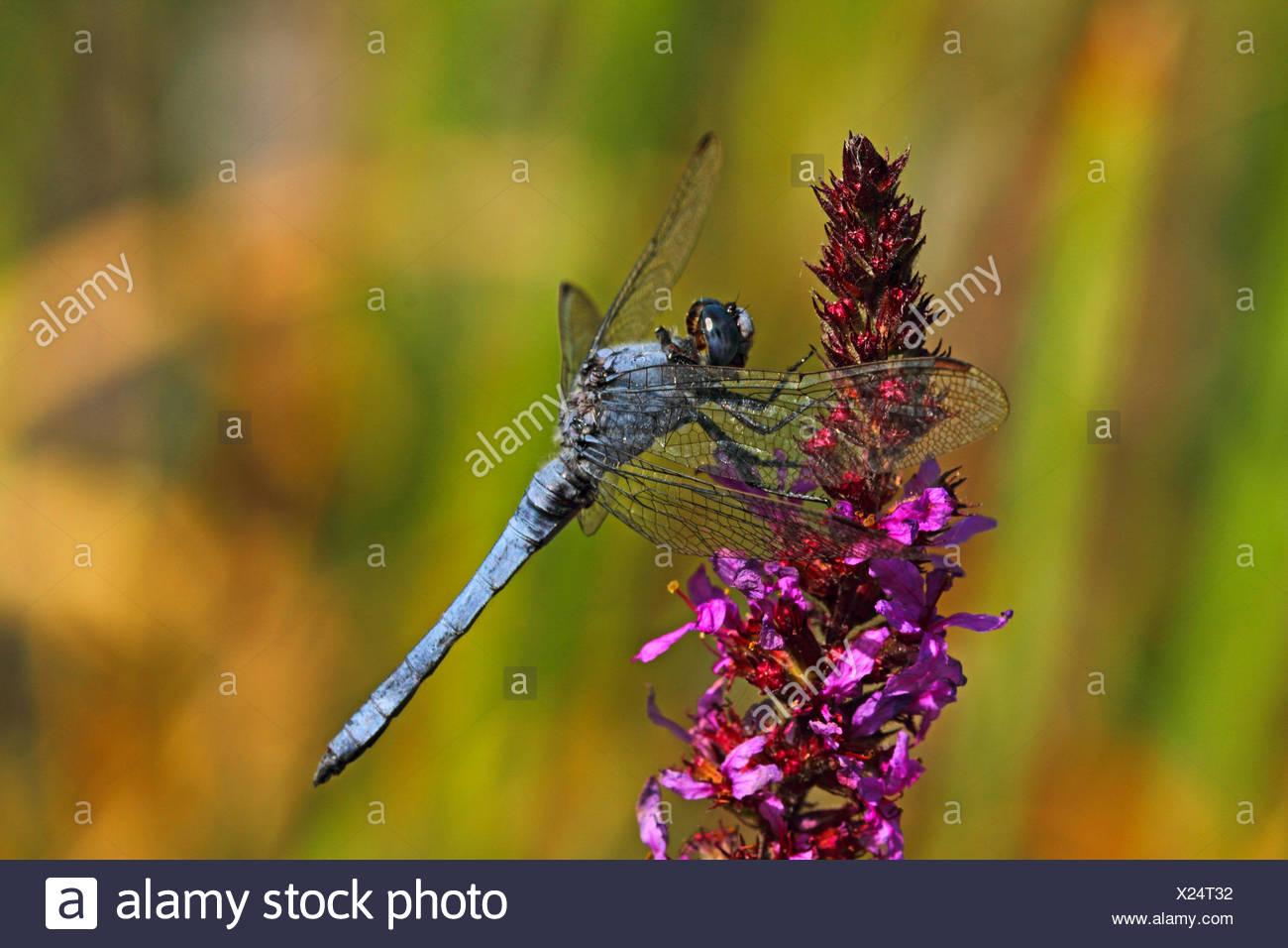 Europa meridionale (skimmer Orthetrum brunneum), maschio su purple loosestrife, Germania Immagini Stock