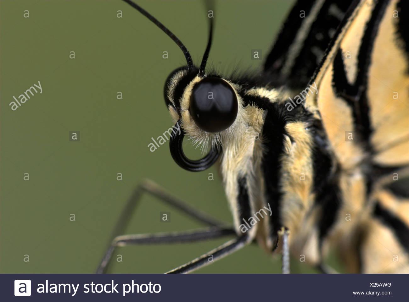 Lime a coda di rondine Butterfly Papilio demoleus Asia Immagini Stock