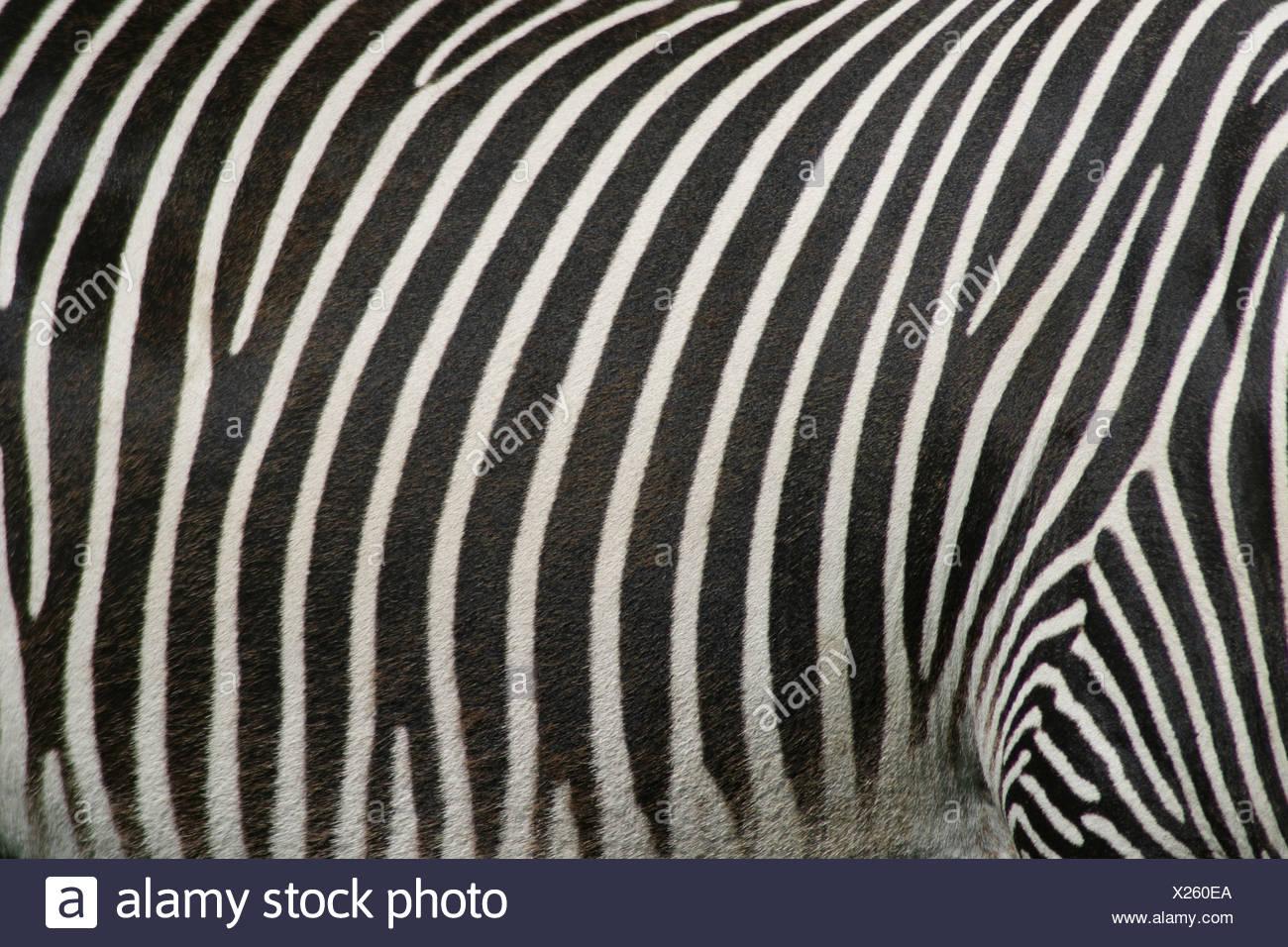 Chiusura del motivo bianco e nero su una zebra Foto Stock