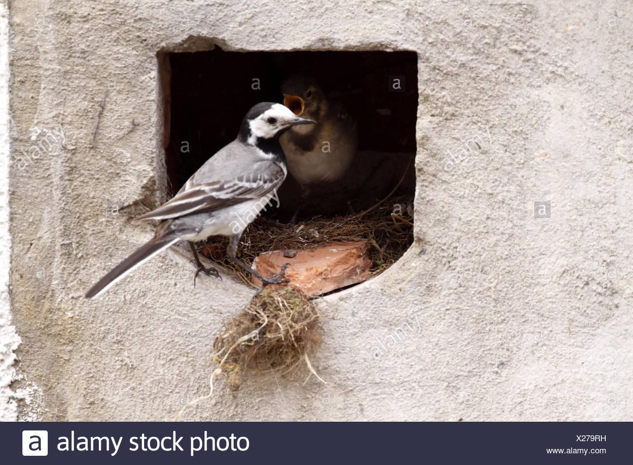Bird nido di uccelli cantare-bird bobolinks wagtail stilt Uccelli Bird Nest feed Foto Stock