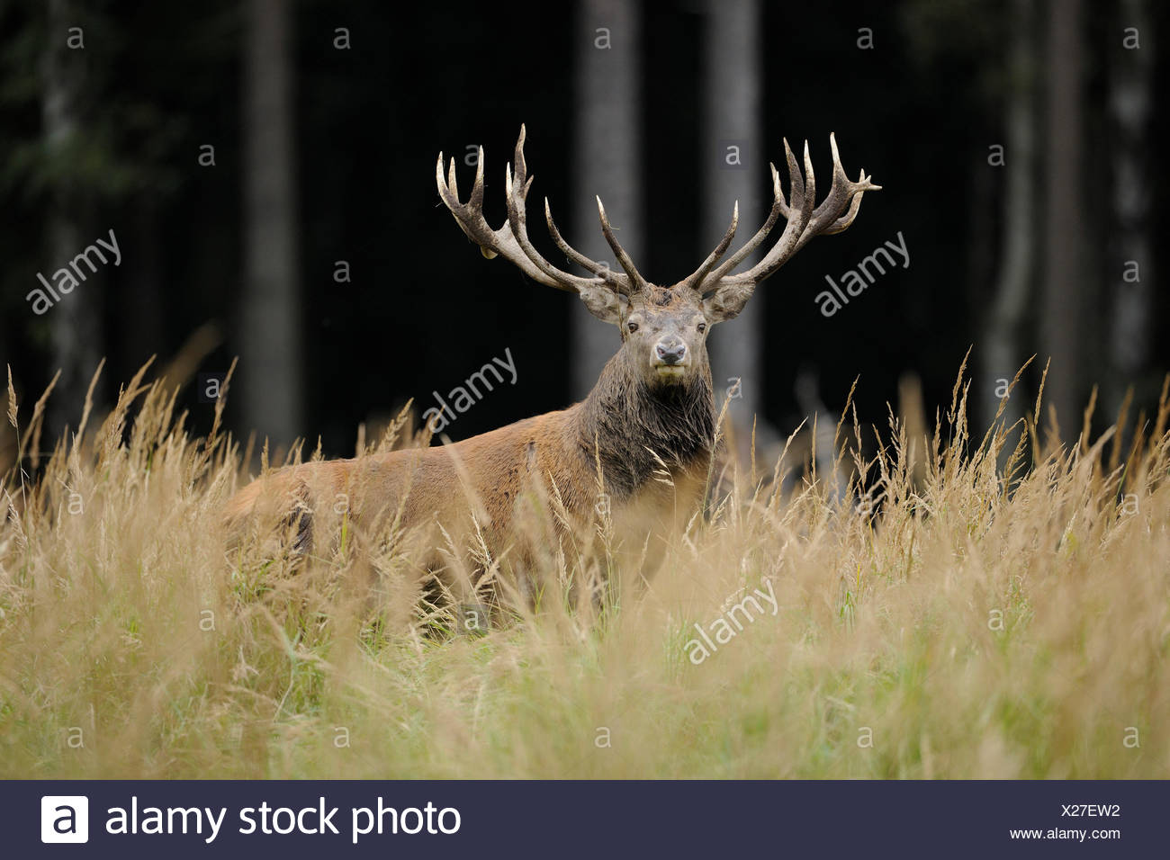 Il cervo (Cervus elaphus), feste di addio al celibato, captive, Bassa Sassonia, Germania Immagini Stock