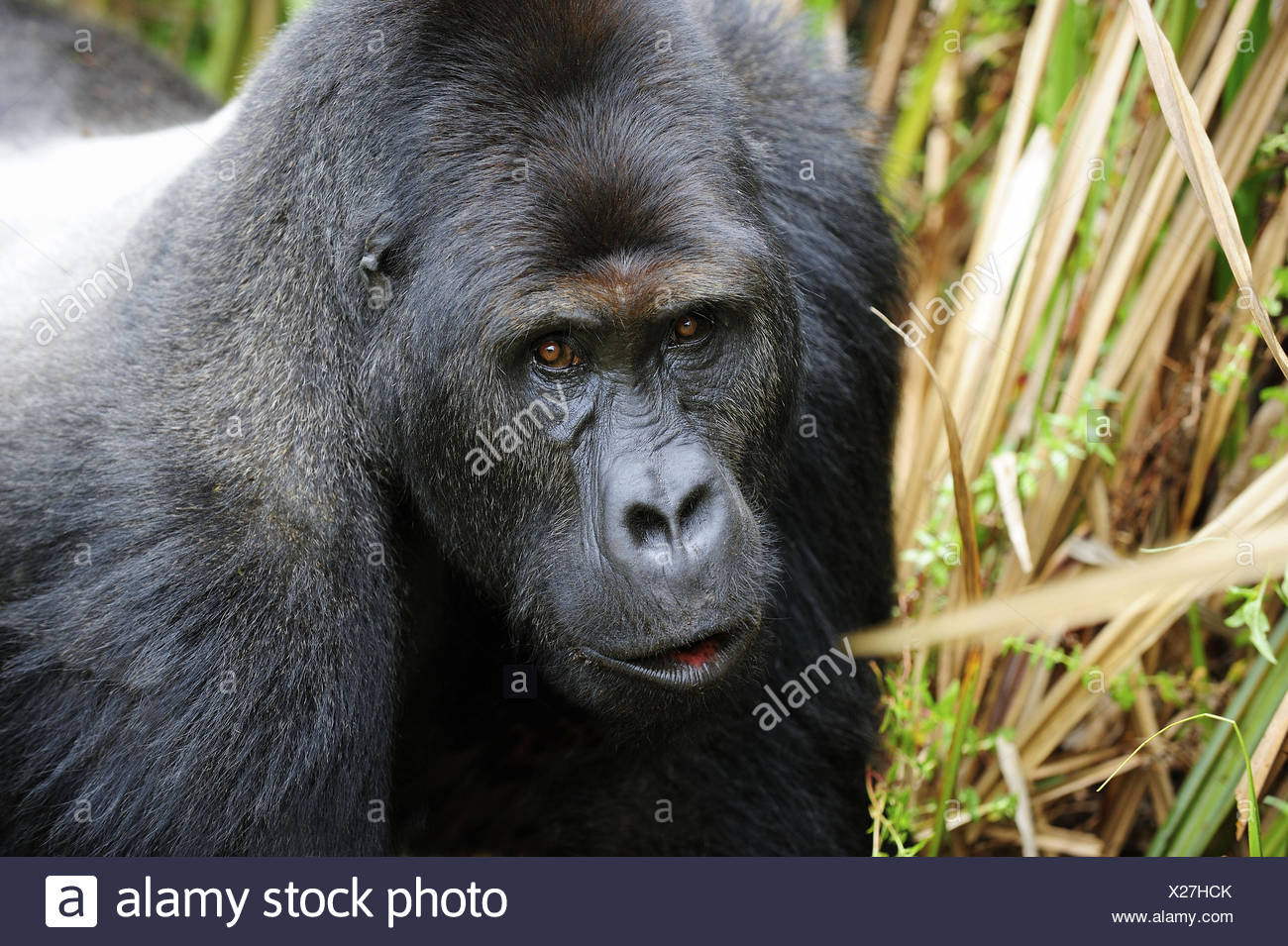 Ritratto di silverback pianura orientale gorilla nelle paludi del Kahuzi Biega Park (Gorilla beringei graueri) democratica Immagini Stock
