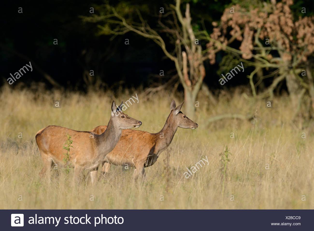 Il cervo (Cervus elaphus), non, Danimarca Immagini Stock