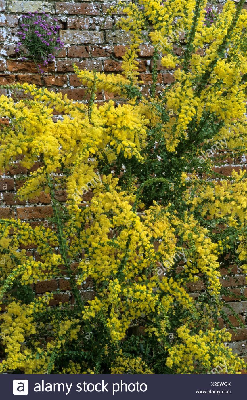 Pianta Fiori Gialli Primavera.Acacia Pravissima Mimosa Fiori Gialli Inverno Primavera Pianta
