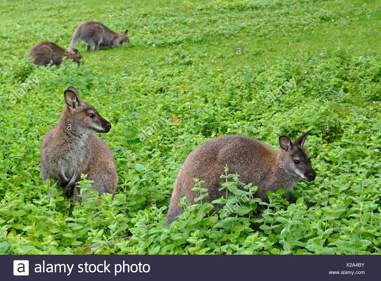 Rosso-un wallaby dal collo (Macropus rufogriseus) nel Parco del Chateau de Sauvage, Emance, Yvelines reparto, regione Ile-de-France, Francia, Europa. Immagini Stock