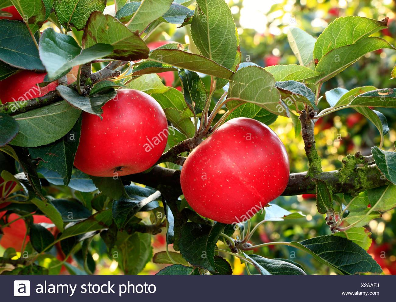 Apple 'scoperta', malus domestica, mele, chiamato varietà varietà crescente su albero Immagini Stock