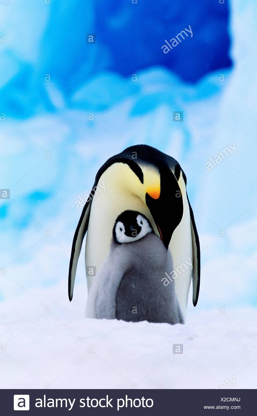 Pinguino imperatore e pulcino Immagini Stock