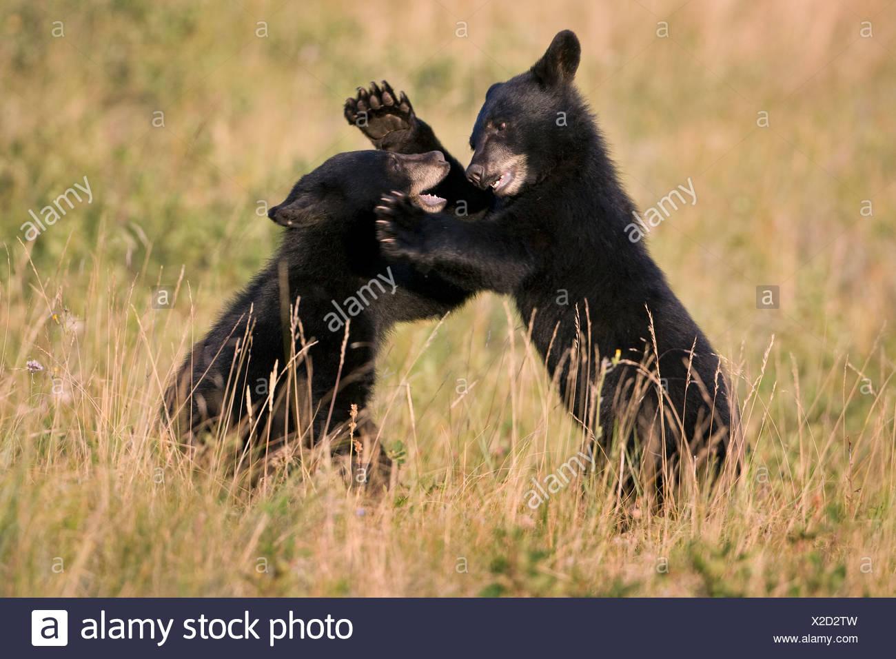 Black Bear cubs (Ursus americanus), il gioco di wrestling, Parco Nazionale dei laghi di Waterton, Alberta, Canada. Immagini Stock