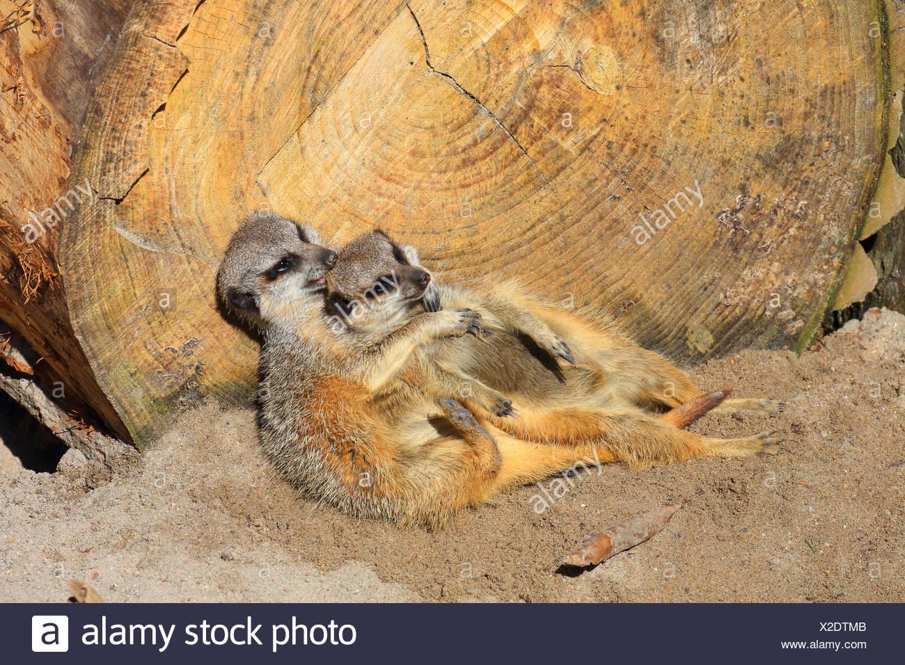 Suricate, sottile-tailed meerkat (Suricata suricatta), due suricates snuggling gli uni con gli altri Immagini Stock