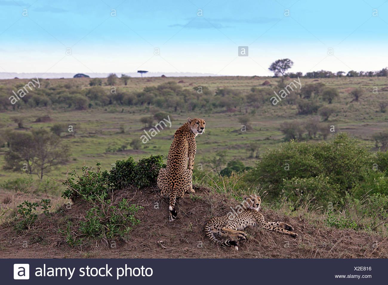 Cheetah in attesa di preda Immagini Stock