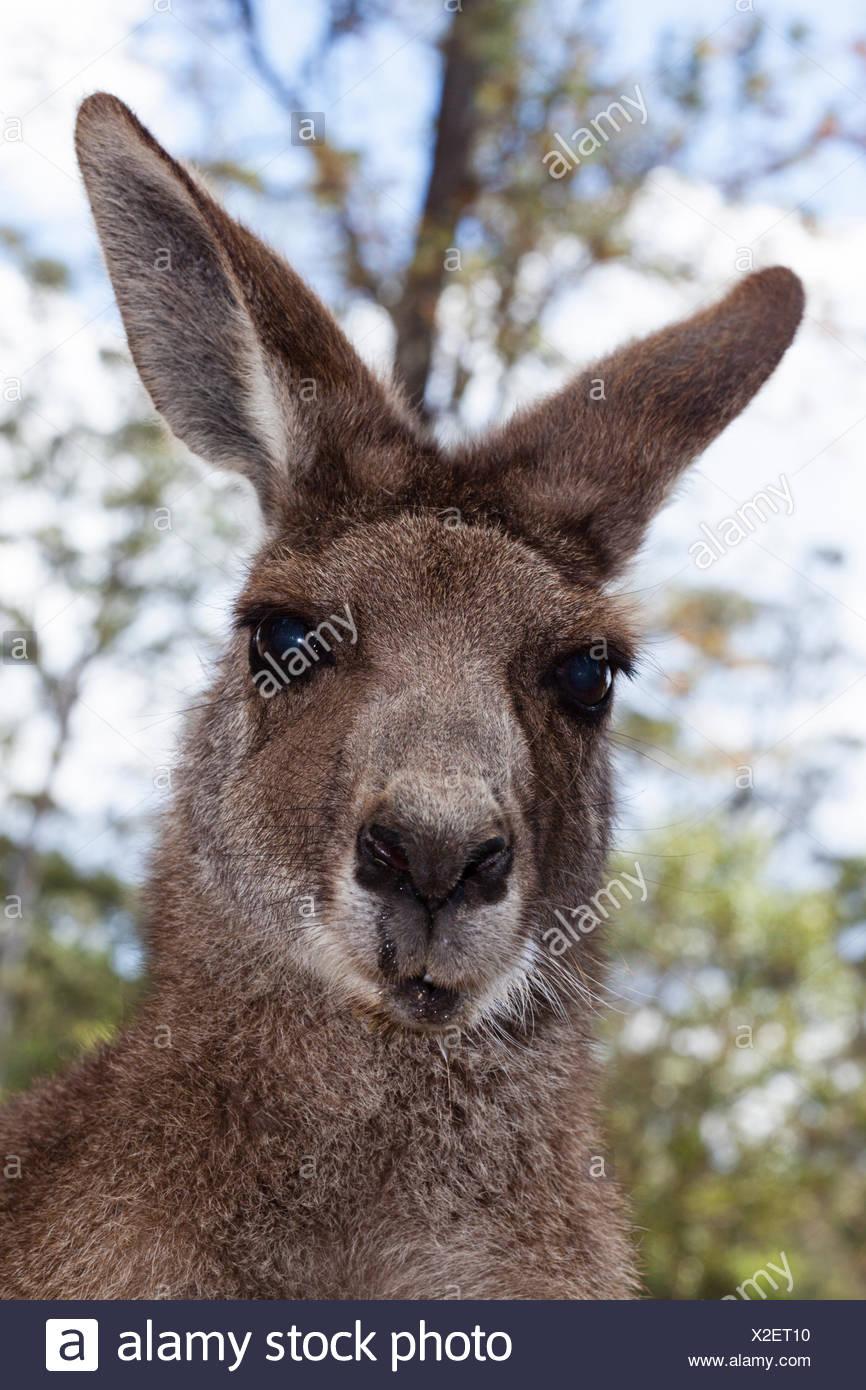 Grigio orientale canguro, Macropus giganteus, Queensland, Australia Immagini Stock