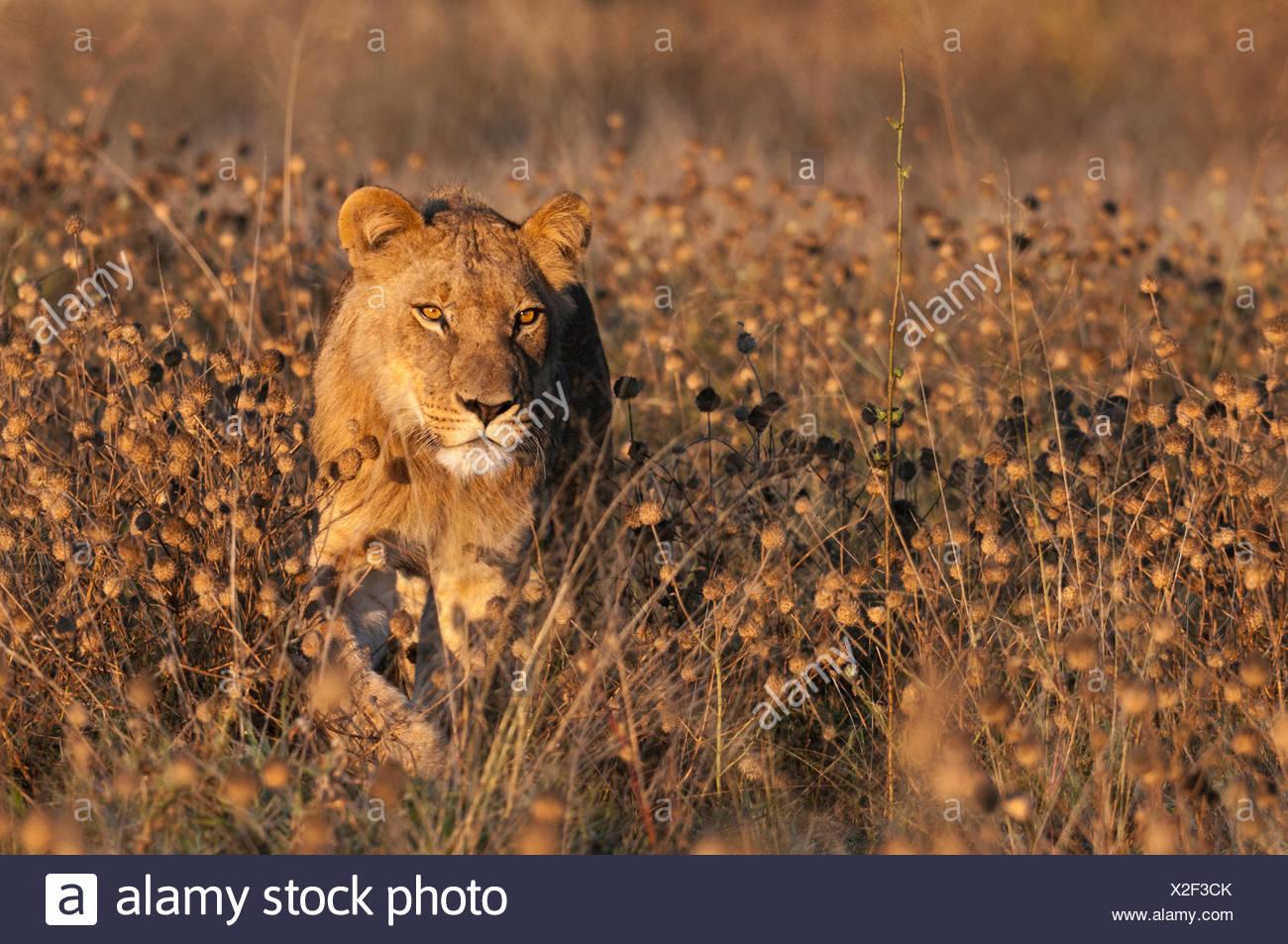 Un giovane maschio lion Panthera leo, passeggiate tra alte erbe infestanti. Immagini Stock