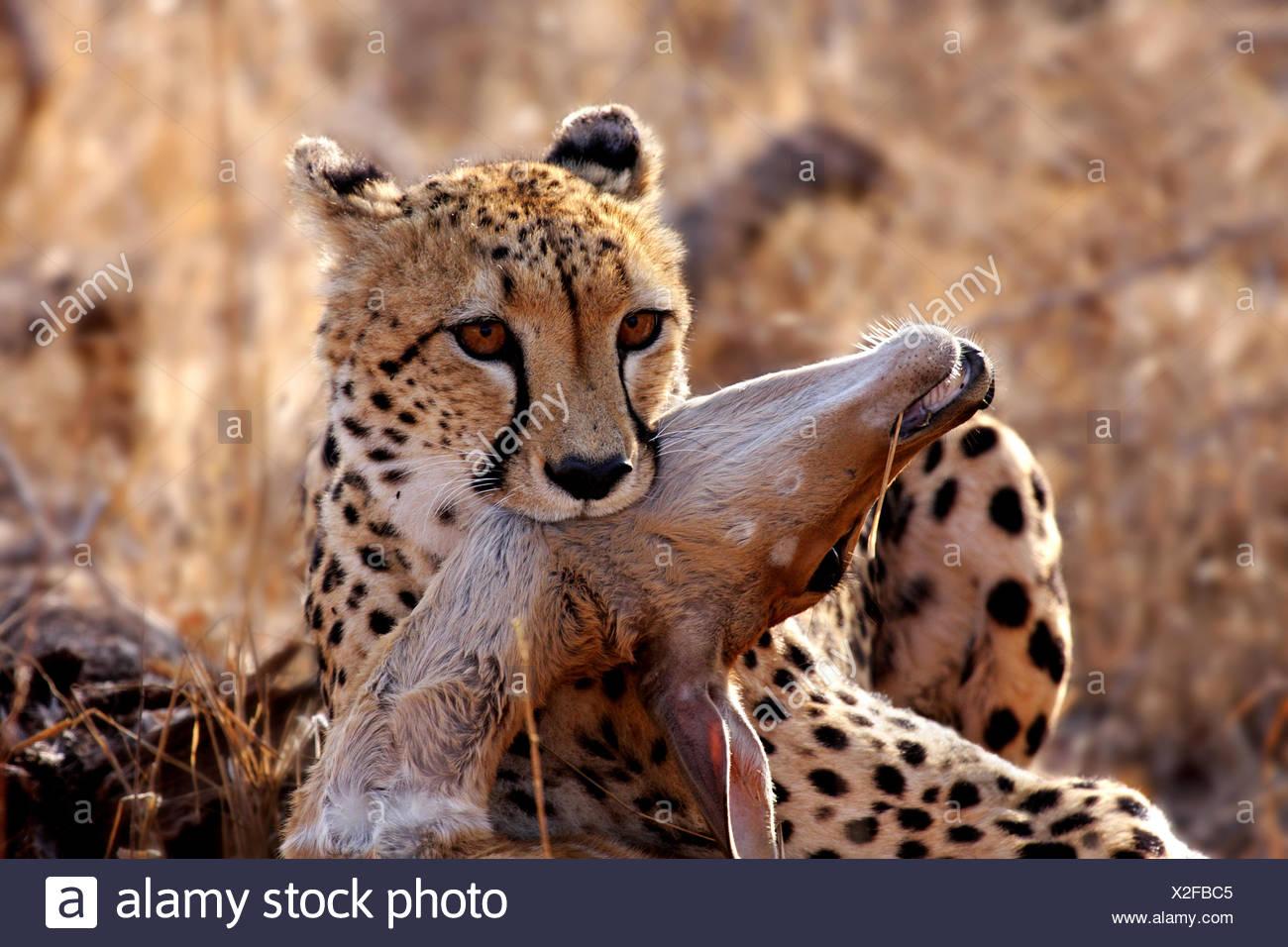Cheetah con la preda,la fauna selvatica Immagini Stock